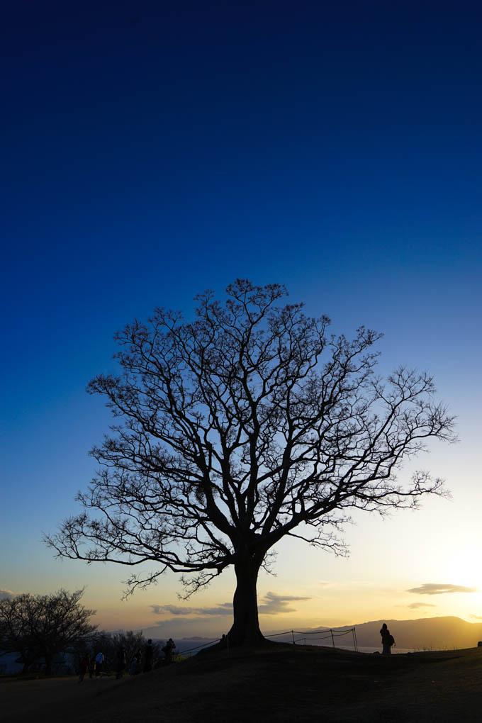 吾妻山公園は菜の花もいいけど、この木が好きでいつも撮ってます(^^)