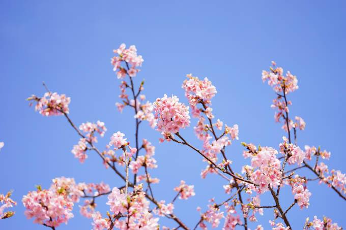 次回は、4月のソメイヨシノかな?(^^)
