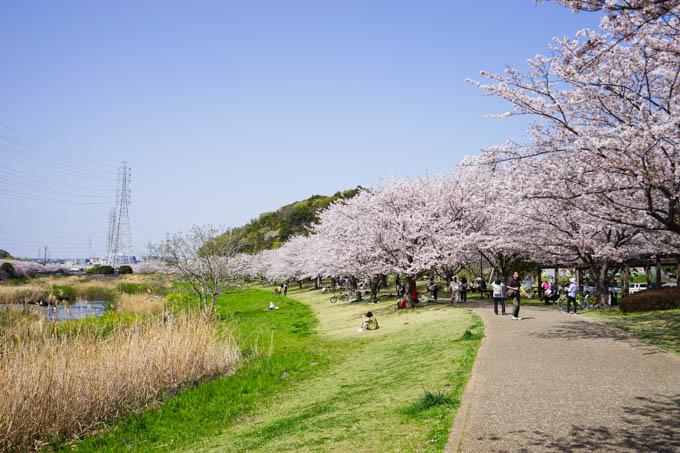 引地川沿いに、なが~い桜並木。
