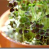 Four-leaf clovers for Mom.