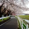 今年の初桜です(寒かった~)