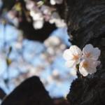 桜パトロール2012(その2)