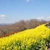二宮町の吾妻山公園に菜の花(&富士山&ヤビツ)を見に行こう!