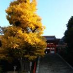 【本日の朝ポタ】鶴岡八幡宮の大銀杏
