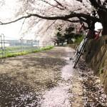 境川・鎌倉山・段葛の桜ポタ