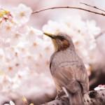 【桜2015】目黒川のサクラ散歩