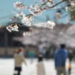 【桜2015】鎌倉の隠れた桜名所,光明寺