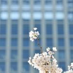 【桜2015】浜離宮庭園・長興山紹太寺