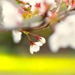 サクラは咲いたか,散ったか