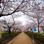 桜満開速報(鶴岡八幡宮前の段葛)