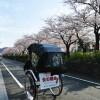 【本日の朝ポタ】鎌倉桜開花情報