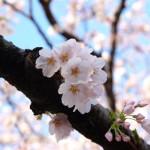 あっという間に鎌倉の桜はほぼ満開!