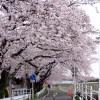 境川CRの「桜トンネル」を走ろう!