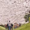 今年の桜前線は超ハイスピード
