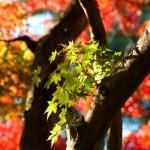 いよいよ鎌倉の紅葉も見頃かな?