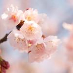 桜パトロール2014