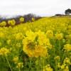 本日の朝練(吾妻山公園の菜の花を見に)