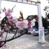 河津桜を見に行ってきました(ウソではないけど…)