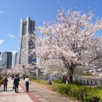 みなとみらいの桜並木
