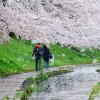 江川せせらぎ緑道の桜散歩でリフレッシュ(^^)